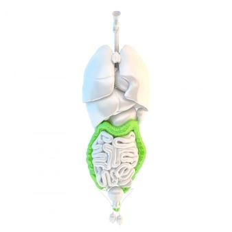 Cólon humano saudável. ilustração 3d. isolado. contém o traçado de recorte