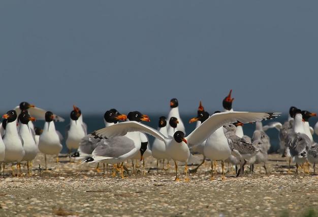 Colônia de gaivotas de palla