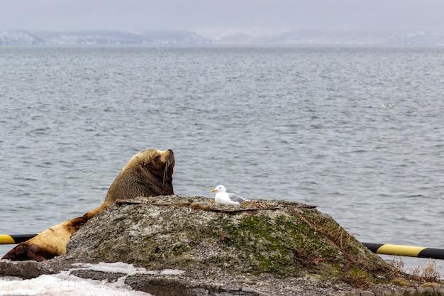 Colônia de leões-marinhos redbook na cidade de petropavlovsk kamchatsky