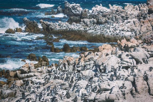 Colônia de pingüins africanos na baía de betty, áfrica do sul