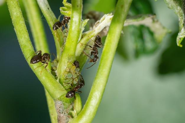 Colônia de pulgões e formigas em plantas de jardim