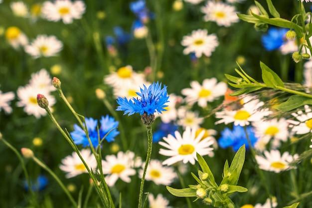 Coloque com flores e margaridas de florescência, paisagem do verão com flores silvestres.