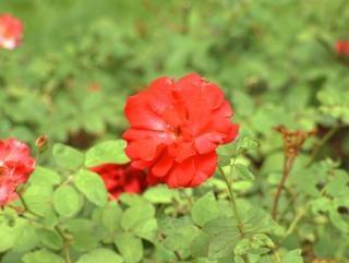 Colorida flor, vermelho
