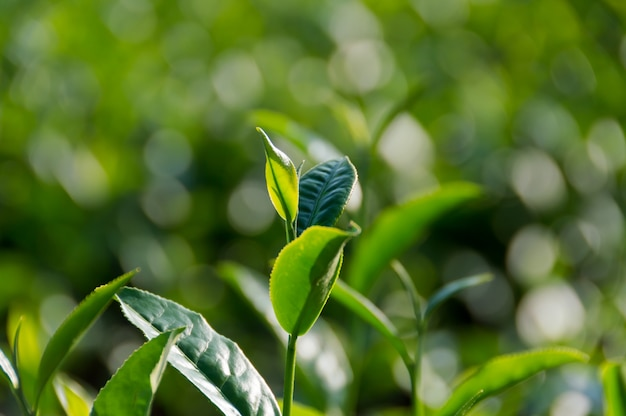 Colorido brilhante fresco vívido da árvore do chá com natureza e fundo macios borrados do bokeh.