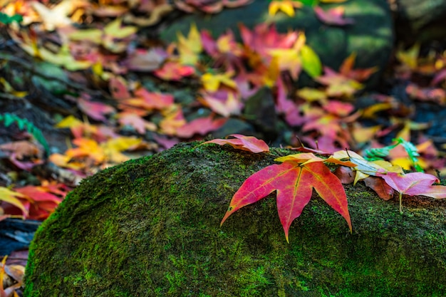 Colorido das folhas de bordo nas rochas verdes na estação do outono no santuário de animais selvagens de phu-luang, tailândia.