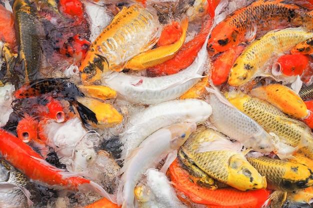 Colorido de muitos peixes koi estão esperando para comer na lagoa para o fundo