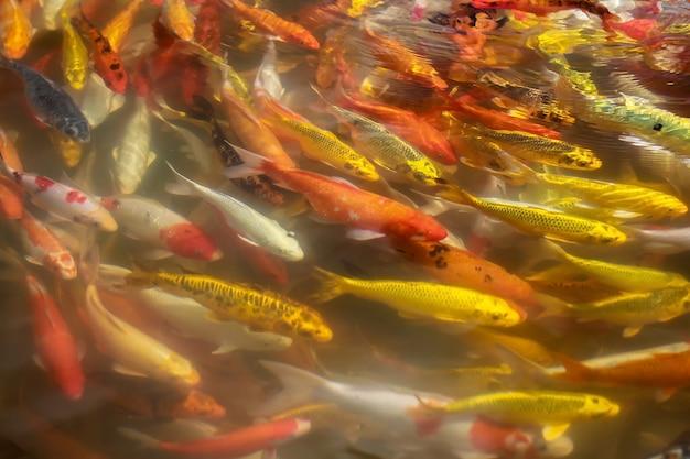Colorido de peixes de artesanato koi nadando em um lago, abstrato desfocar o fundo