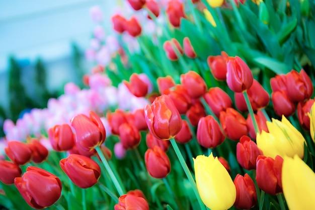 Colorido de tulipas no jardim com linda.