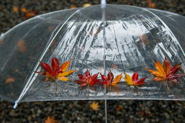 Colorido do bordo japonês caído (momiji) no guarda-chuva. fundo de dia chuvoso.