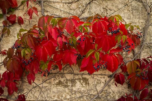 Colorido, hera, plantas, crescendo, ligado, parede, chianti, tuscany, itália