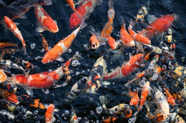 Coloridos, koi, peixe, natação, em, lagoa