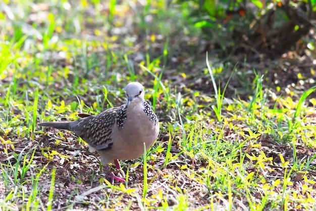 Columbidae ou a pomba europeia à procura de comida no chão