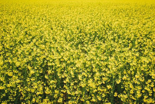 Colza campo amarelo em flor