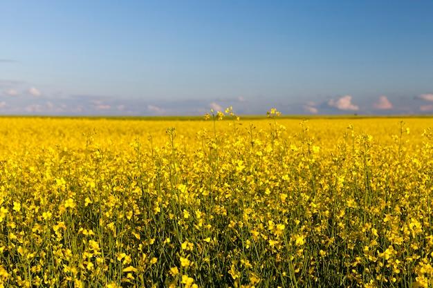 Colza de floração amarela em um campo agrícola, a agricultura como atividade e negócio, seleção de variedades de colza de alta qualidade para obter o maior rendimento alimentar possível