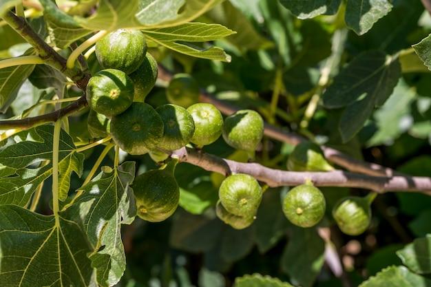 Com ramo de figos