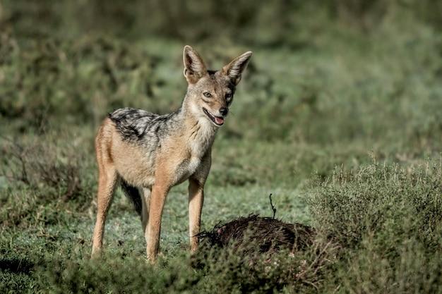 Comendo chacal, no parque nacional do serengeti