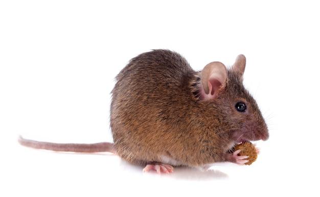 Comendo rato