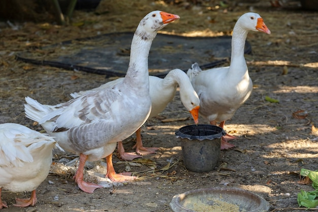 Comer ganso branco no jardim