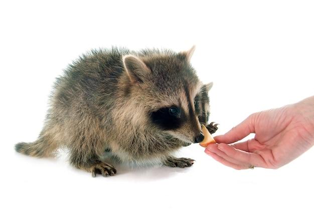 Comer jovem guaxinim