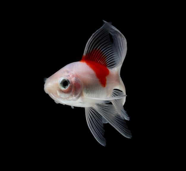 Cometa peixinho isolado no espaço preto