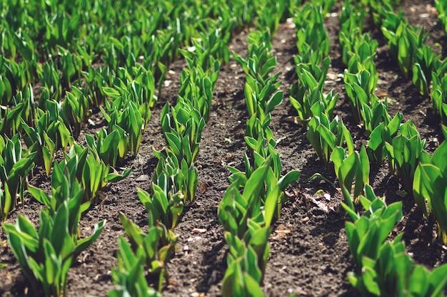 Como crescer tulipas. brotos cedo de tulipas