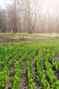 Como crescer tulipas