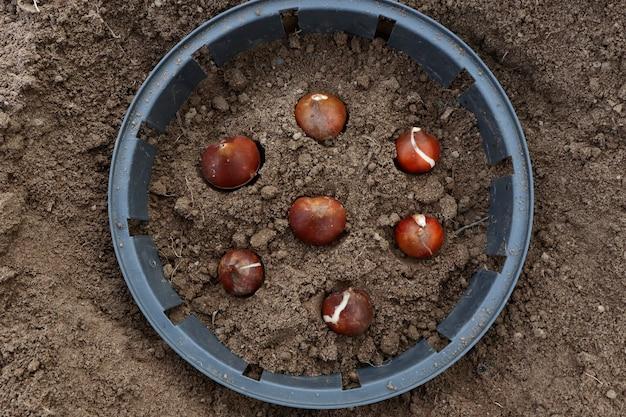 Como plantar bulbos de tulipas em campo aberto no outono ou na primavera. vista superior do recipiente plástico para o plantio de tulipas. preparação para o plantio de bulbos de tulipa na primavera em um jardim de flores.