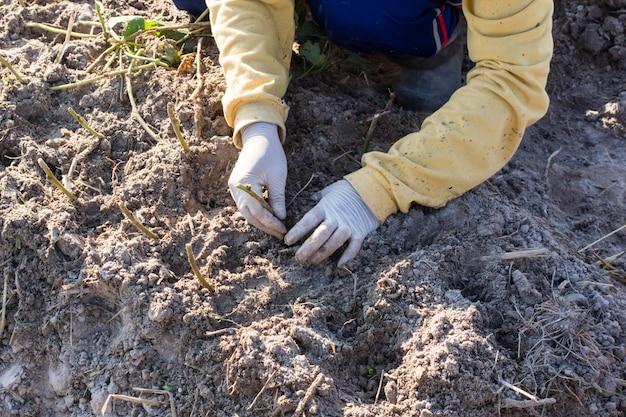 Como plantar e cultivar batatas doces. batata doce crescente.