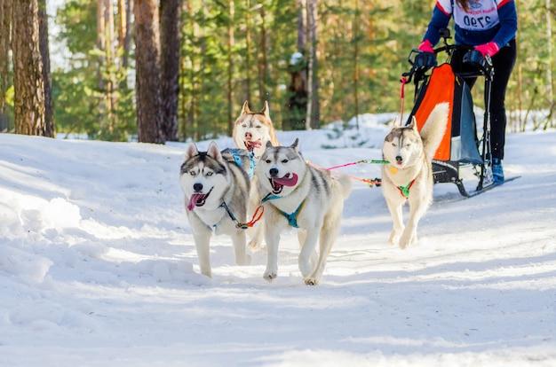 Competição de corrida de cães de trenó. cães husky siberiano no chicote de fios. desafio de campeonato de trenó na floresta de rússia no inverno frio.