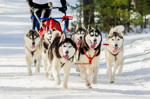 Competição de corrida de cães de trenó