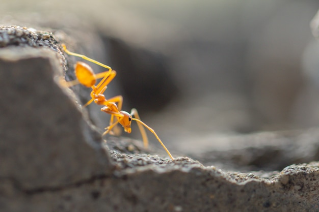 Comportamento de formigas. caminhada de formiga vermelha em concreto cinza.