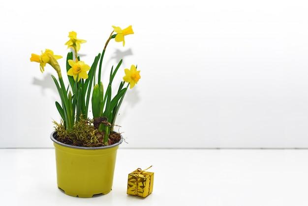 Composição abstrata de narcisos amarelos amarelos.