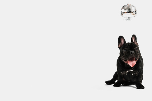 Composição adorável bulldog com bola de discoteca