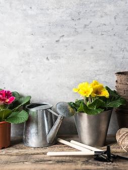 Composição com flores de prímulas em uns potenciômetros e ferramentas de jardim na mesa rústica de madeira.