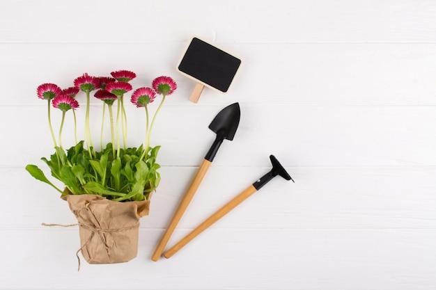 Composição com primeiras margaridas para plantar e ferramentas de jardinagem