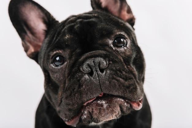 Composição de animais de estimação adorável com bulldog