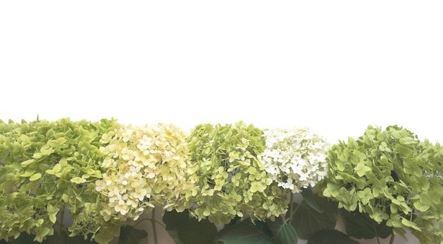 Composição de flores de flores de hortênsia verdes sobre fundo branco. primavera, modelo de verão para seus projetos. postura plana, copie o espaço.