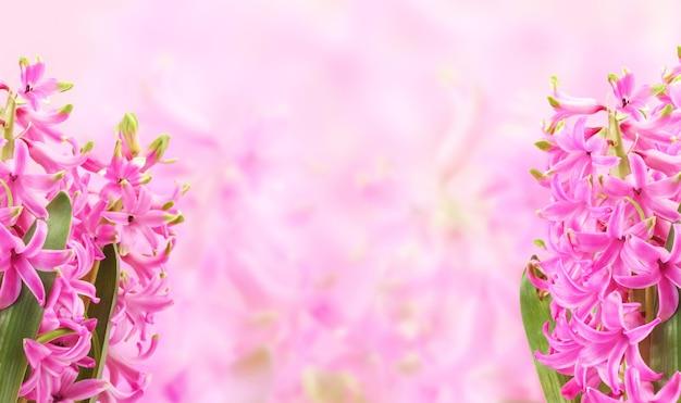 Composição de flores de primavera com flores de jacinto rosa em fundo rosa, lugar vazio para texto no centro. cartão com plantas com flores perfumadas da primeira primavera.