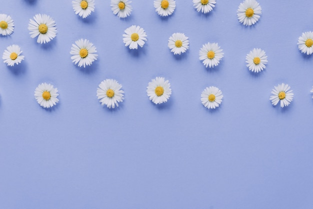 Composição de flores. flores de camomila em azul pastel