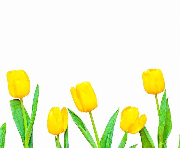 Composição de flores. moldura feita de tulipas amarelas sobre fundo branco. dia dos namorados, dia das mães e conceito de dia das mulheres. camada plana, vista superior.