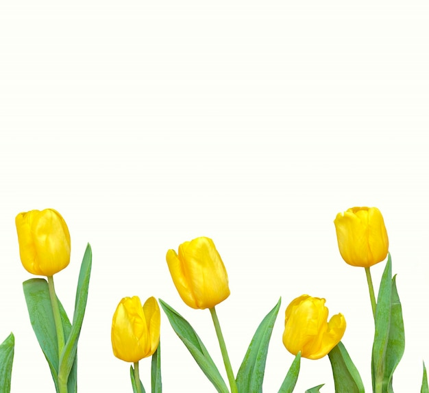 Composição de flores. moldura feita de tulipas amarelas sobre fundo branco em formato quadrado. dia dos namorados, dia das mães e conceito de dia das mulheres. camada plana, vista superior.