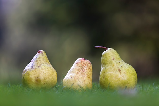 Composição de três peras amarelas na grama fresca turva verde escuro turva