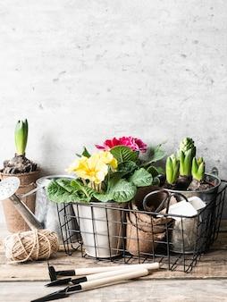 Composição do jardim com jacintos e prímula no uns potenciômetros e ferramentas de jardim na tabela de madeira rústica.