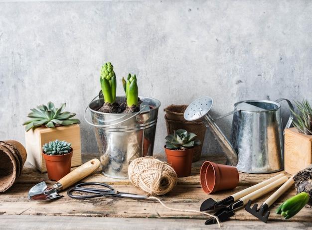 Composição do jardim com jacintos no balde de zinco e suculentas em uma panela e ferramentas de jardim na mesa de madeira rústica