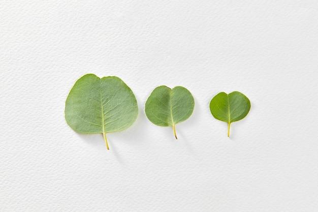 Composição vegetal de três folhas frescas de eucalipto de tamanho diferente em uma parede de papel cinza claro com espaço de cópia. postura plana.