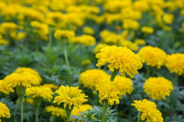 Compositae marigold no parque, foco seletivo