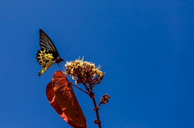 Comum, birdwing, troides, helena