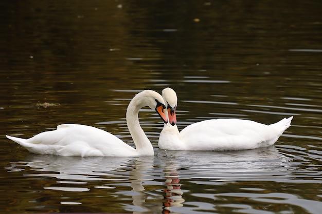 Comunicação de cisnes brancos em uma lagoa