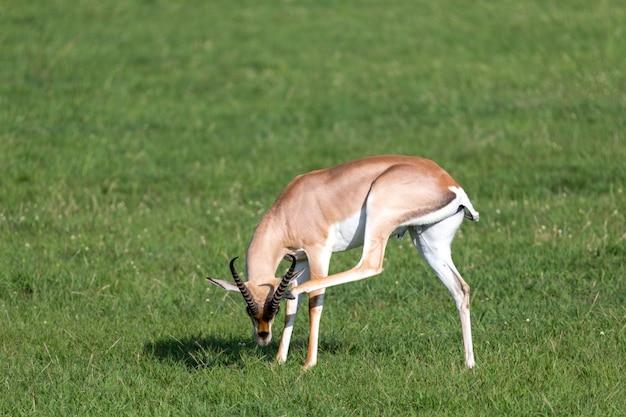 Conceda gazelas em um pasto verde em um parque nacional no quênia