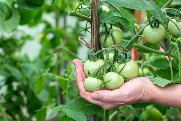Conceito caseiro, jardinagem e agricultura. feminino mão segure um monte de tomate verde verde orgânico em uma estufa. produção de alimentos orgânicos vegetais naturais.